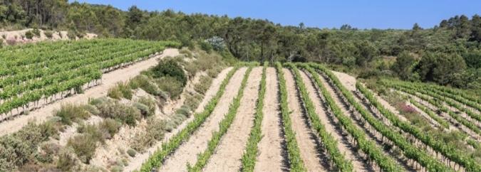 Vignoble du Domaine Saint Andrieu